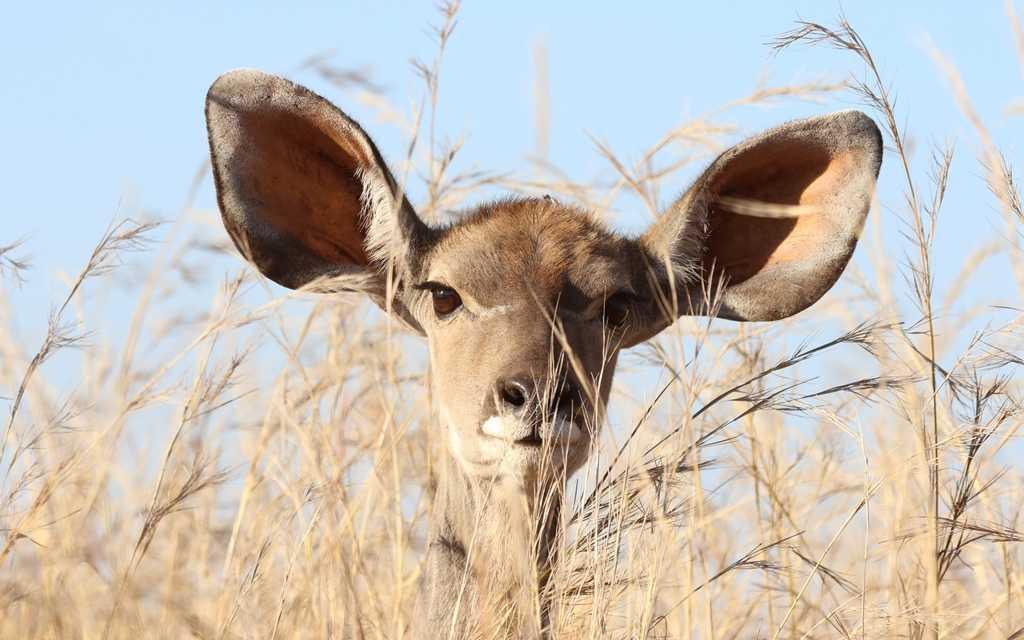 Gazelle spitzt die Ohren um zu Hören